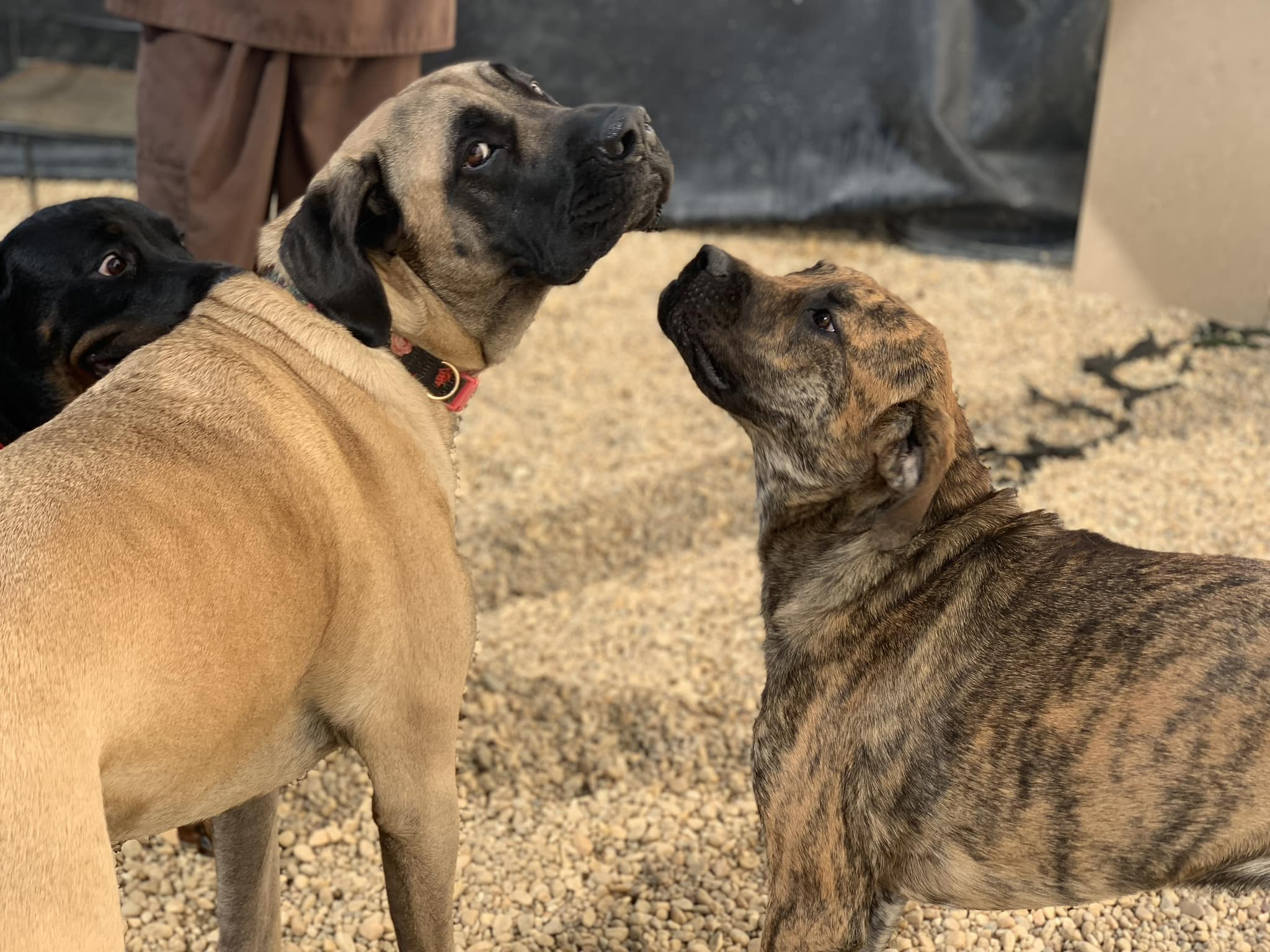 brindle dog and mastiff